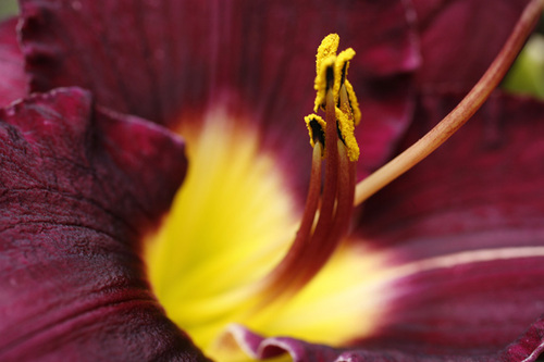 """Maroon and Yellow Lily"""