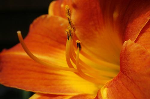 """Orange Lilies-II"""
