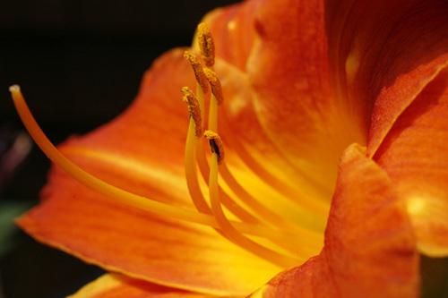 """Orange Lilies-IV"""