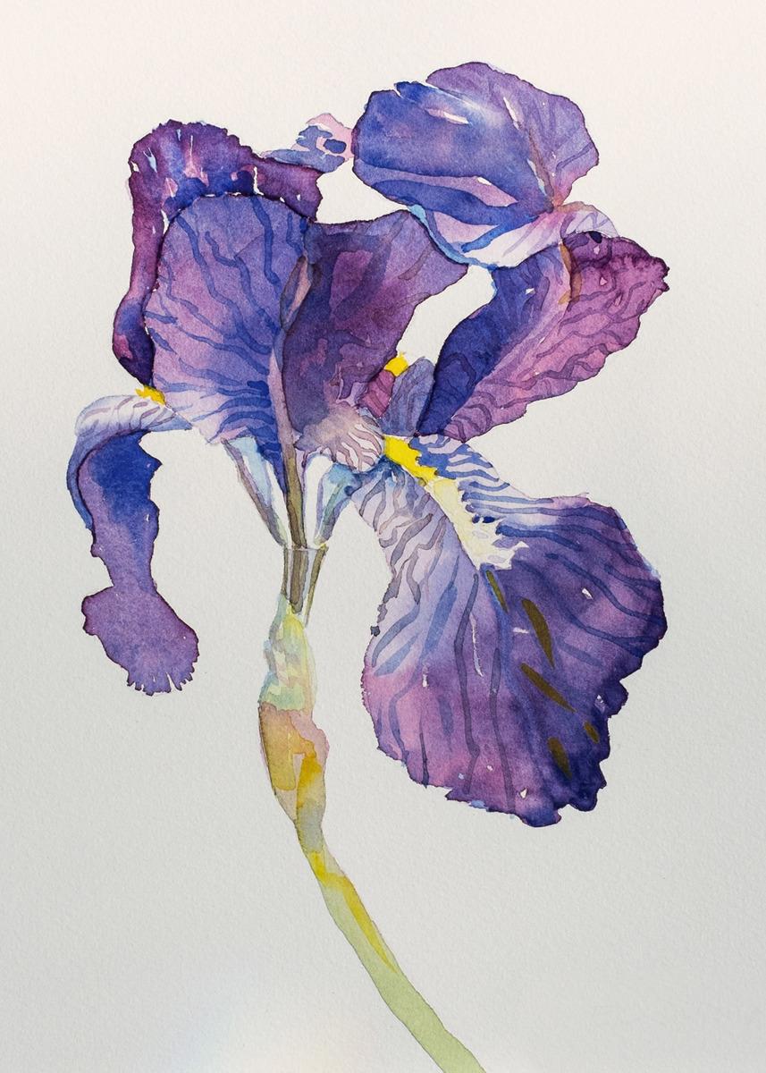 May Iris (large view)