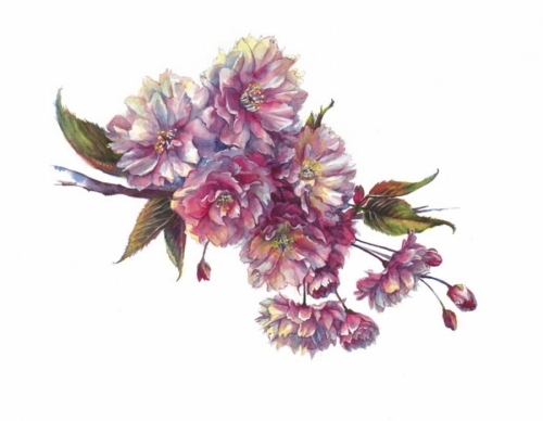 Kwanzan Cherry Blossoms