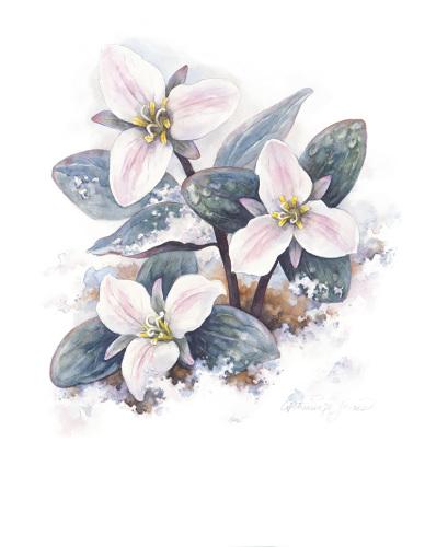 Trillium Nivale - The Snow Trillium
