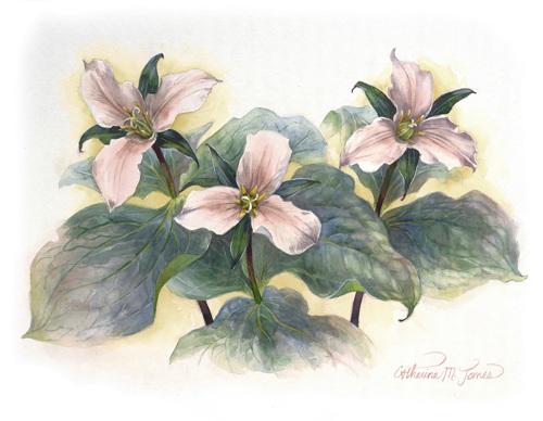Finn Hill Trilliums