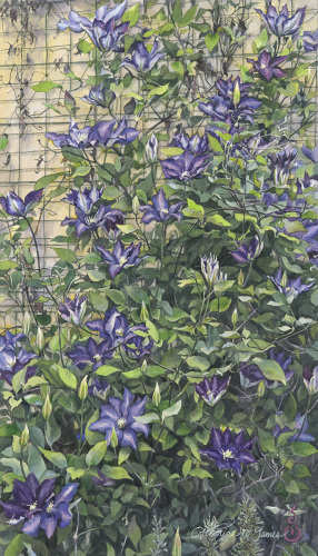Clematis Cascade (large view)