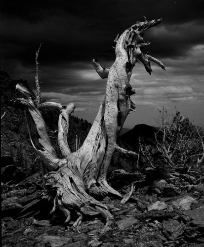 Bristlecone Pine - About 1500 Years Old