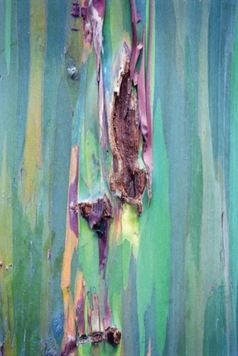Eucalyptus 3 by christopher costanza