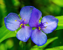Blue Wildflowers 132 (thumbnail)