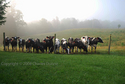 Cows in early morning (thumbnail)