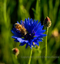 Bee and Blue Wildflower (thumbnail)