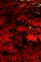 Red Leaves (thumbnail)