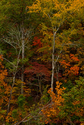 Fall Forest (thumbnail)