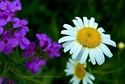 A Daisy and Purple Wildflowers (thumbnail)