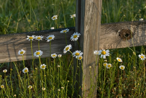 Fence & Daisies