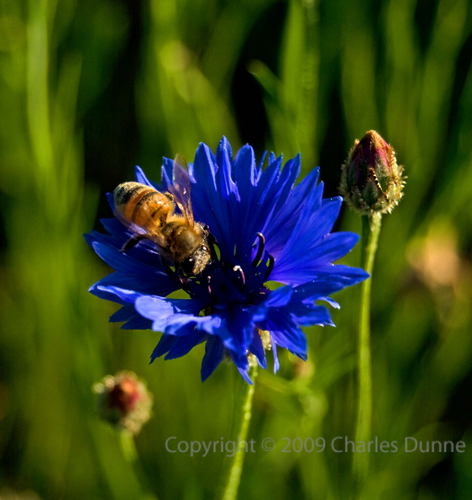 Bee and Blue Wildflower