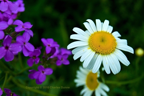 A Daisy and Purple Wildflowers