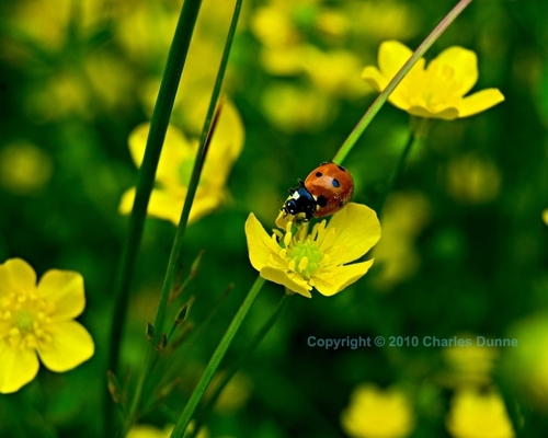 Ladybug 971. by Images by Charles Dunne