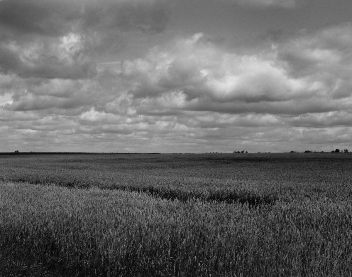 Barley field (large view)