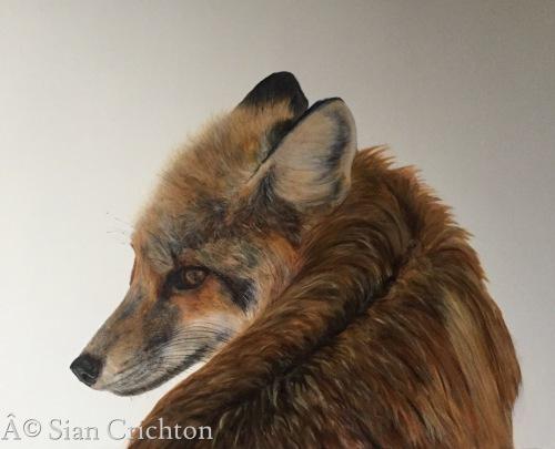 Fox by Sian Crichton