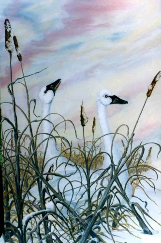 Trumpeter Swans - Lifemates