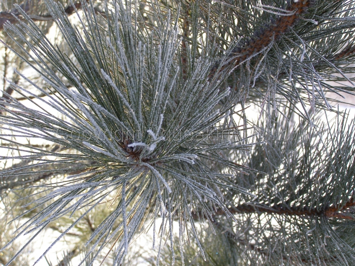 Close up view  of frost-covered pine needles creating a juxtapose design-in-nature image. (large view)