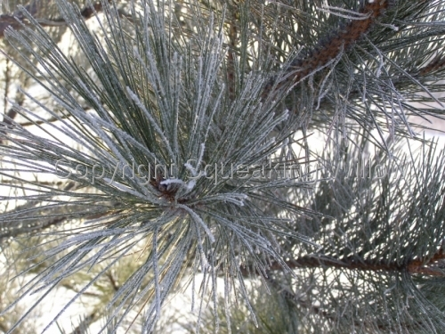Frosty Pine Needles by Squeaking Willow