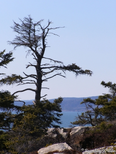 Silhouette of scraggly, rigid tree embedded in coastal rock against backdrop of blue shades of ocean, land, and  sky. (large view)
