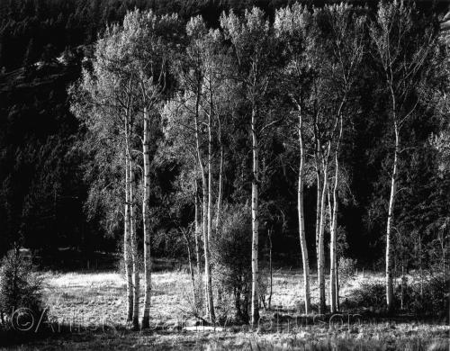trees popular