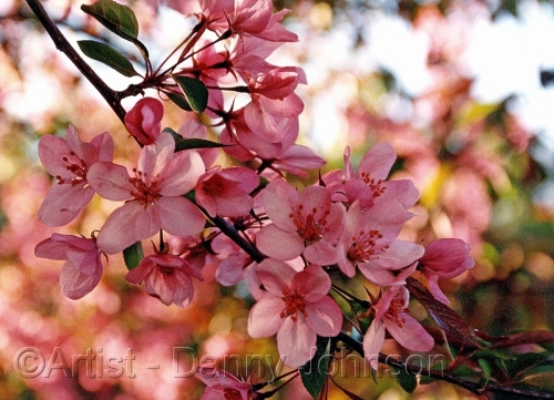 cherry blossom okanagan