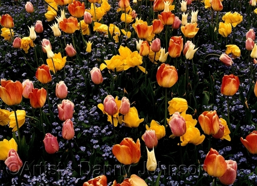 tulips burnaby bc