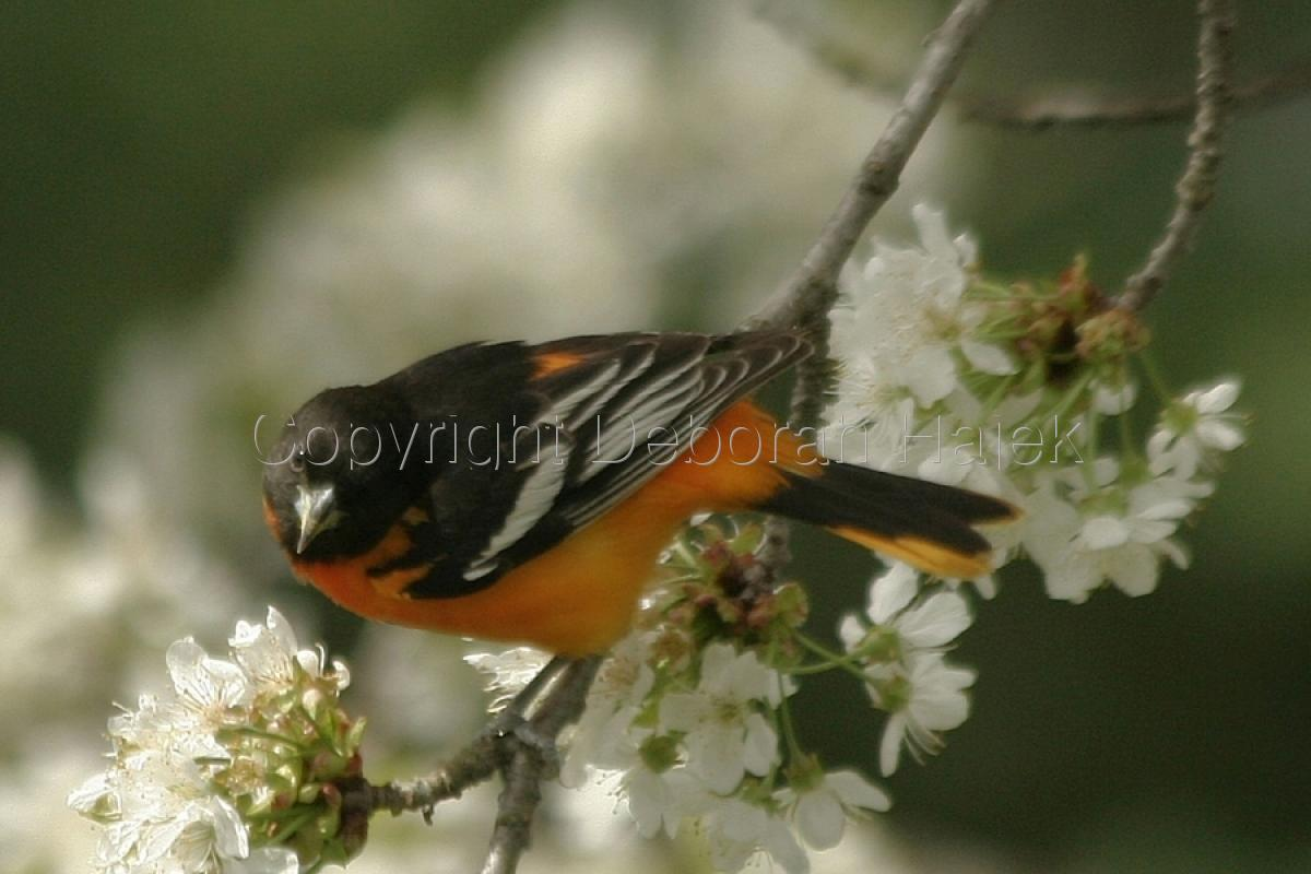 Mr. Oriole (large view)