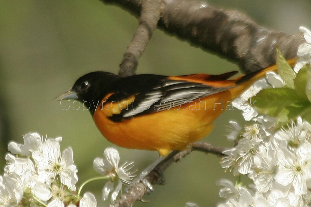 Baltimore Oriole (large view)