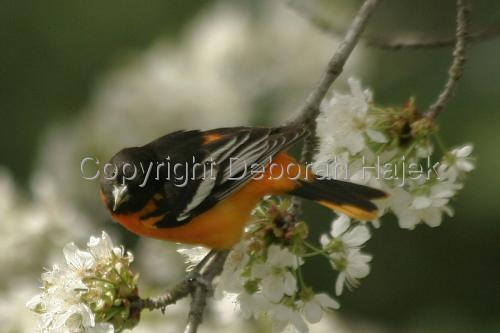 Mr. Oriole