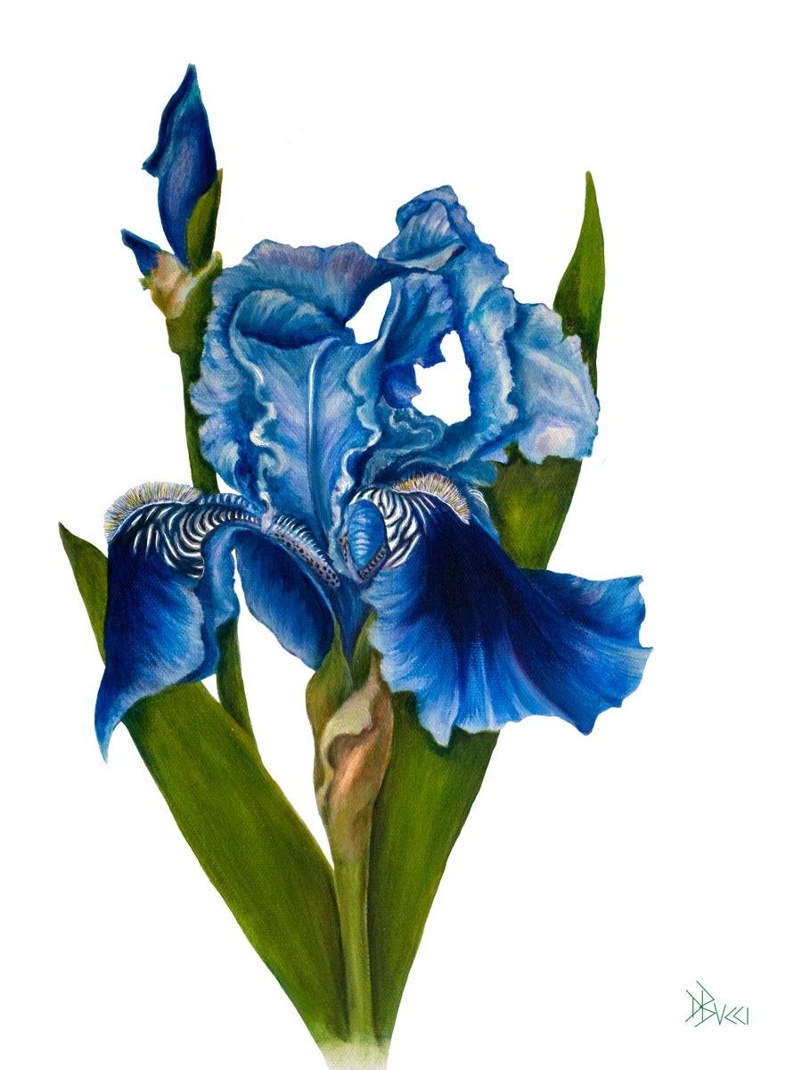 Iris Bloom (large view)