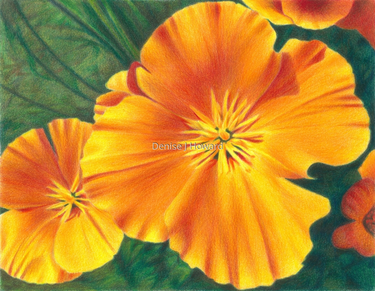 California Poppy #2 (large view)