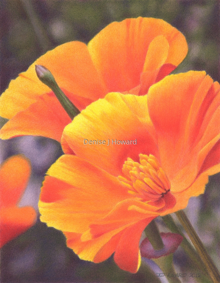 A pair of California poppies (large view)