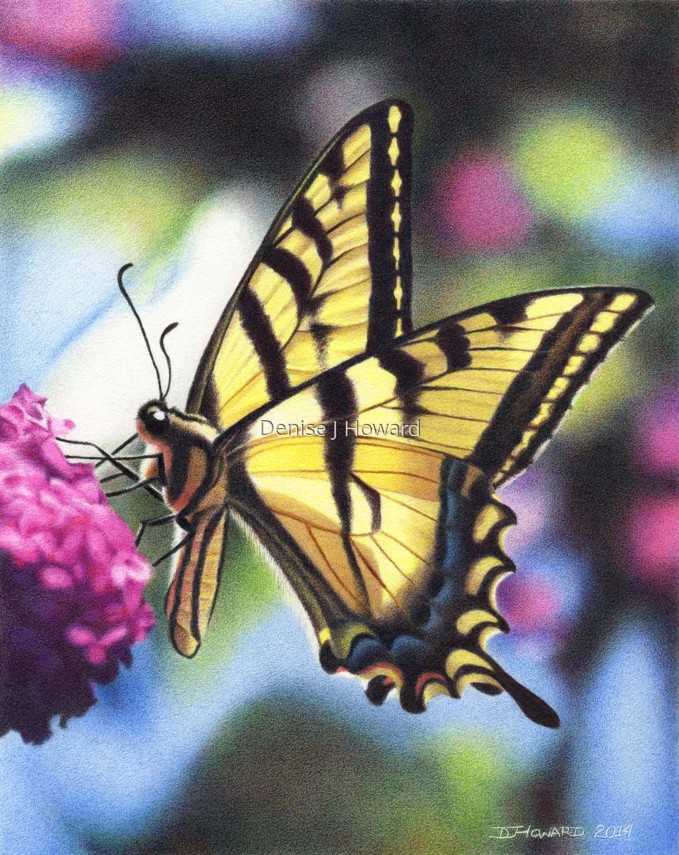 Western Tiger Swallowtail (large view)