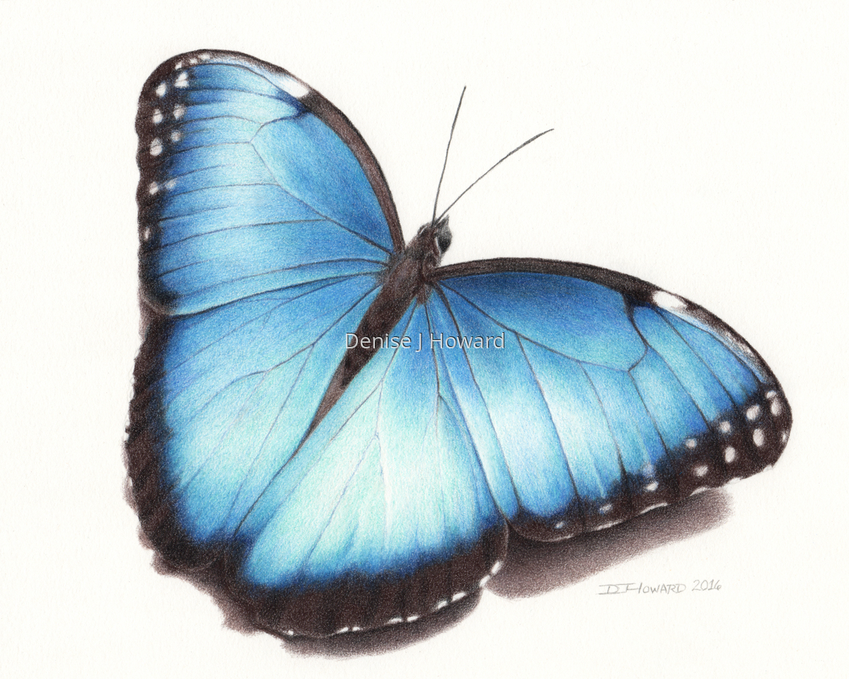 Blue Morpho #1 (large view)