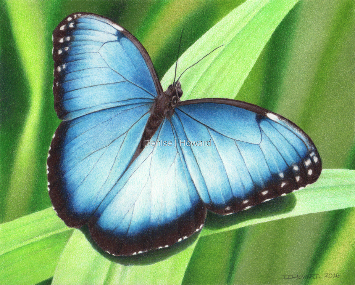 Drawing Quot Blue Morpho 2 Quot Original Art By Denise J Howard