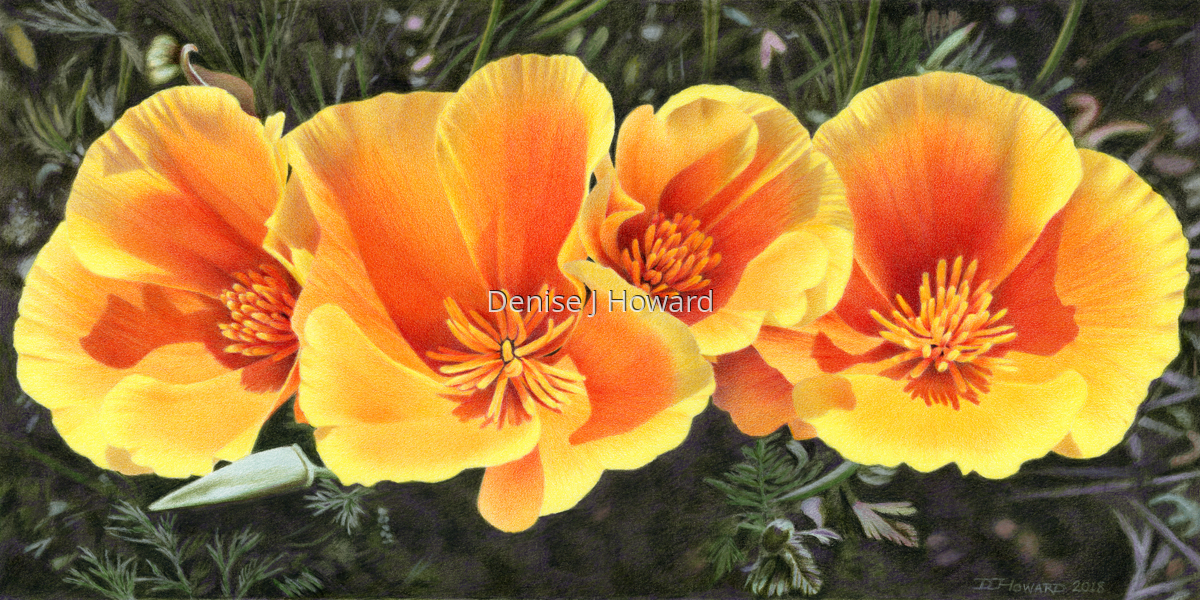 California Poppy Quartet (large view)