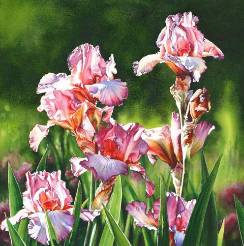 Lilac Rose Iris