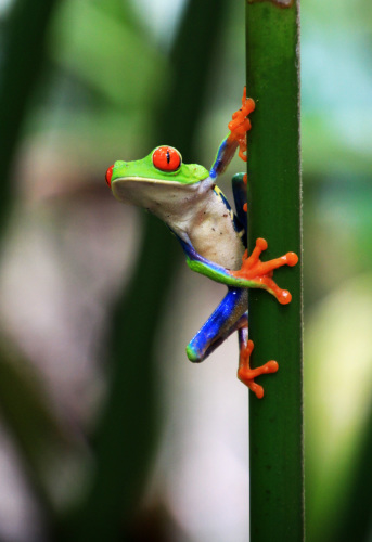 What's up?       Red Eyed Tree Frog, Costa Rica