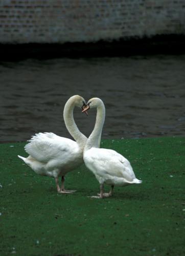 Swan Heart, Brugge. Belgium