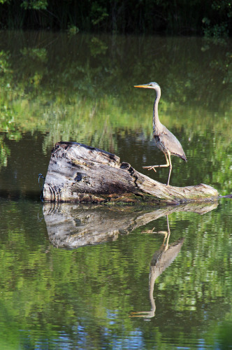 Great Blue Heron out for a walk. Fort Collins, Colorado
