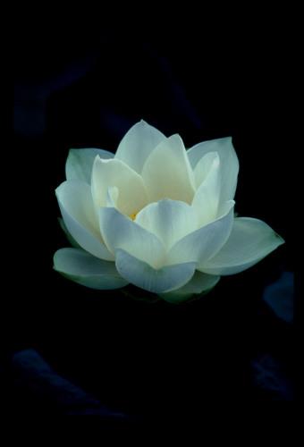 Lotus Blossom, Chiang Mai, Thailand by Dan Geldert Fine Art Photography