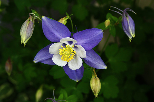 Columbine     (The Colorado State Flower)