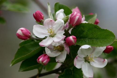 Apple Blossoms, Peru, New York by Dan Geldert Fine Art Photography
