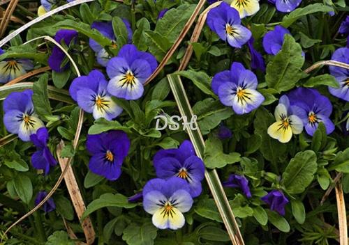 Blue Pansies