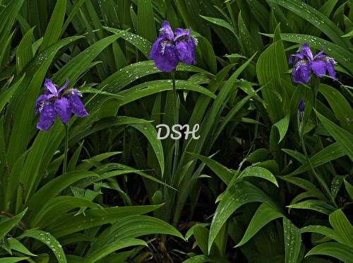 Roof Iris