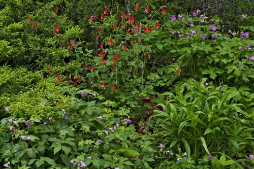 Columbine and Wild Geranium
