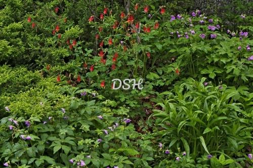 Columbine and Wild Geranium